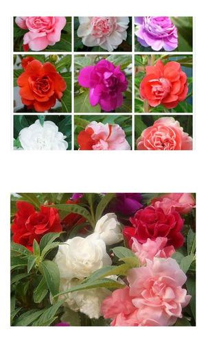 Imagem 1 de 7 de Beijo De Frade Dobrado Impatiens Flor De Camelia 20 Sementes