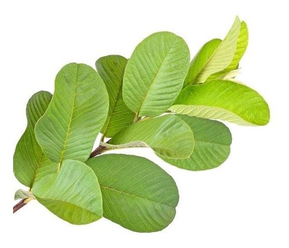 200 Folhas Goiaba (goiabeira)verdes