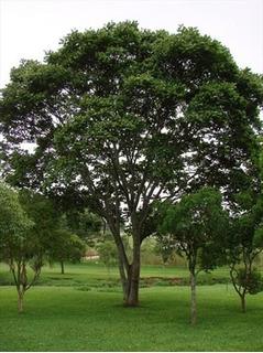 50 Sementes P Mudas Araribá Asa De Morcego Árvore Grande