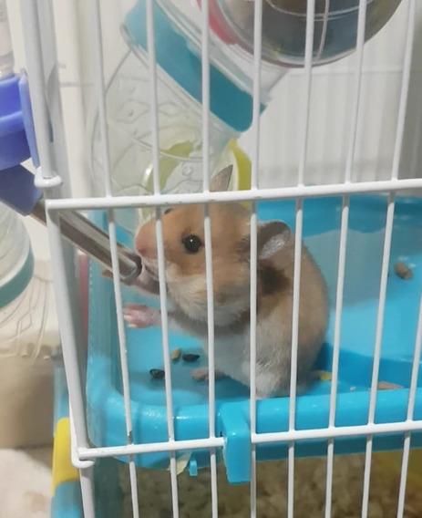 Filhotes De Hamster Sírio