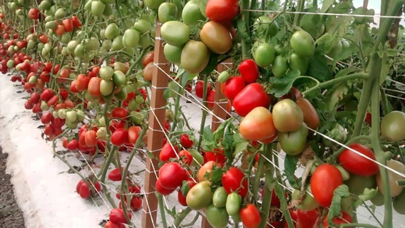 Solucion Hidroponica Para Tomates Envio Gratis