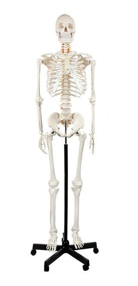 Modelo De Esqueleto Humano Masculino Tamaño Real + Extras
