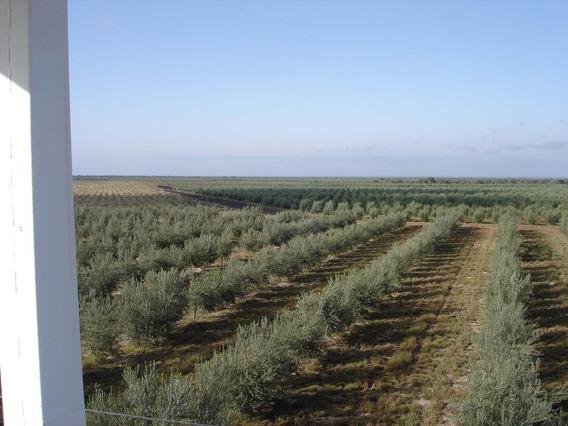 Campos En Venta -500 Ha En Chumbicha, Departamento Capayán, Provincia De Catamarca -sobre Ruta, Finca De Olivos