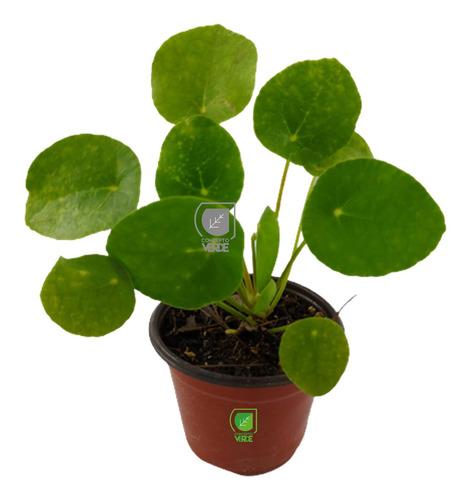 Imagen 1 de 7 de Planta Pilea (solo Cdmx)