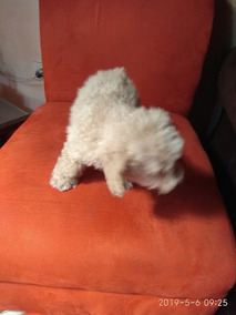 French Poodle Mini Toy Macho