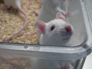 Ratones Albinos En Adopción