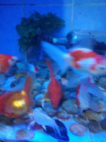 Peces Goldfish Excelentes Mascotas De Todo Color Ofertapece