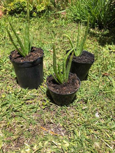 Imagen 1 de 2 de Plantas De Aloe Vera