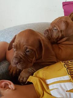 Cachorros Dogo De Burdeos