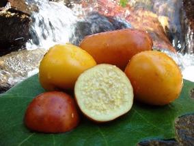 Maná Cubiú Cocona 100 Sementes Exóticas