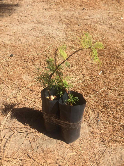 Arbolito De Tepezcohuite Mimosa Hostilis Certificado