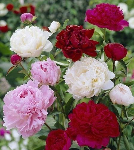 Bulbos De Peonias Herbaceas (3 Colores) X 1 Bulbo