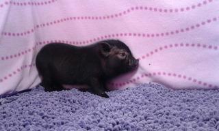 Mini Pig Macho Negro Minipigs Legítimos Mini Pigs