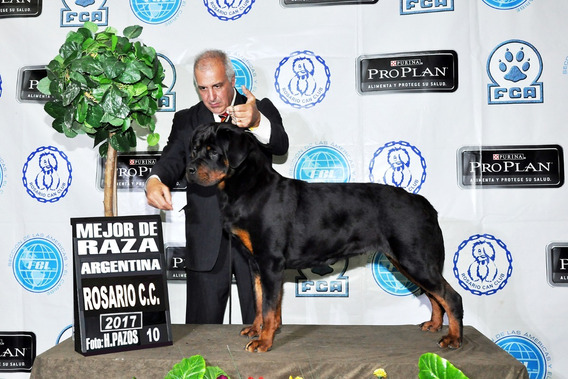 Rottweiler Cachorros Linea De Campeones