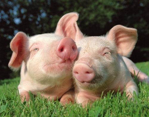 Corrida Financiera :  Cría Y Engorda Cerdos  Rentable