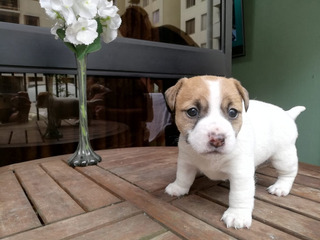 Jack Russell Terrier Cachorras
