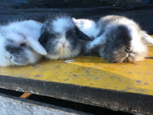 !!! Conejos Enanos Leon Lop Peluditos