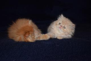Gatos Persa. Red Tabby. Aptos De Cría.