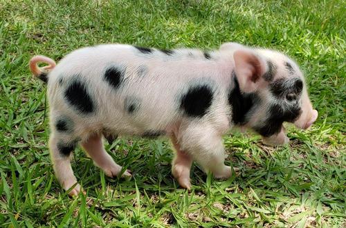 Mini Pig. Micro Pig. Mini Porquinho Filhote.