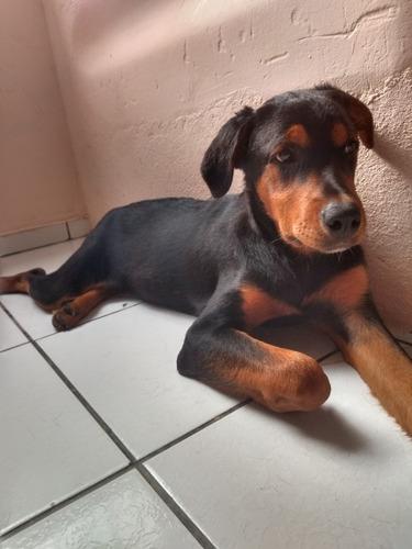Imagem 1 de 5 de Vendo Rottweiler Fêmea 4 Meses