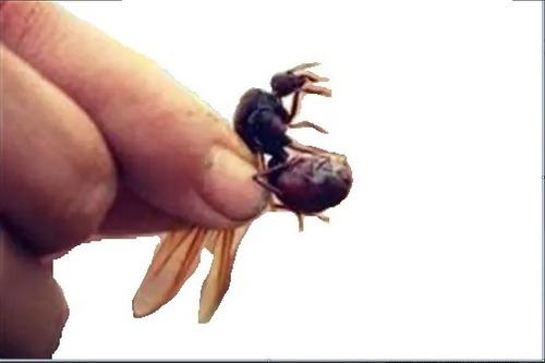 Hormigas Culonas 20gr - Unidad a $80