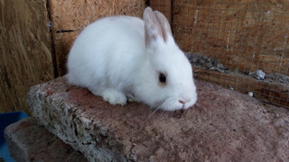 Conejos De Raza Enanos