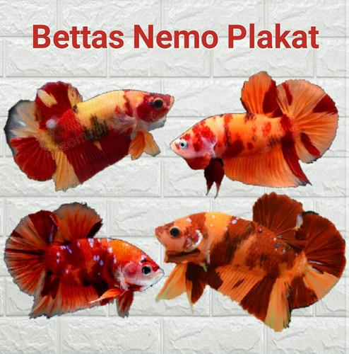 Imagen 1 de 1 de Bettas
