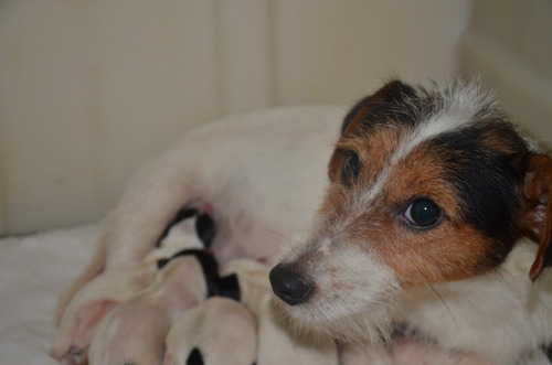 Imagen 1 de 10 de Jaks Russell Terriers Con Chip Y Pedigri De La Fca