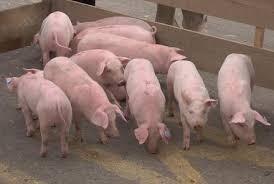 Venta De Cerdos