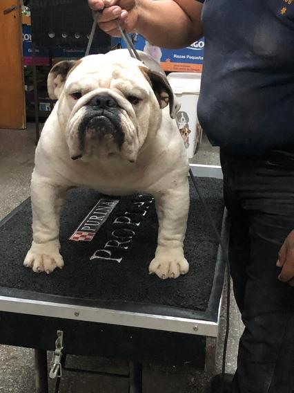 Bulldog Ingles Importado De Chile Hijo En Servicio De Stud