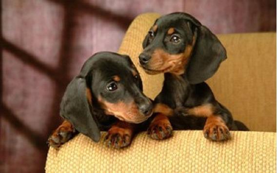 Espectaculares Cachorros Salchichas Miniatura Hermosos