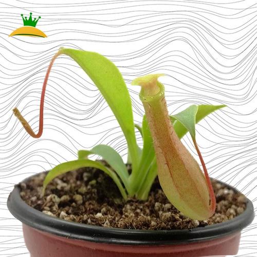 Imagen 1 de 3 de Planta Carnivora Nepenthes Ventrata