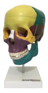 Crânio Didático Colorido - Modelo Anatomico Com Suporte