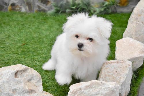 Cachorros Bichon Maltes - Aptos Para Personas Con Alergia