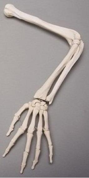 Esqueleto Modelo Anatomico Brazo Izquierdo