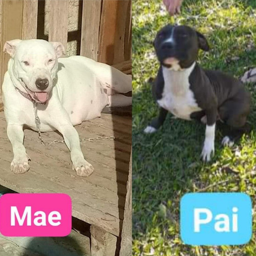Filhotes De American Staffordshire Terrier Disponível