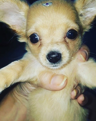 Vendo Chihuahua Filhote. Tenho Fêmea Macho.