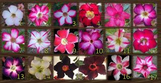 Adenium Flor Del Desierto De Esqueje Sencillo