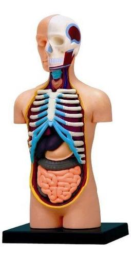 Modelo 4d Vision Human Anatomy Torso