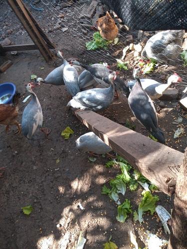 Imagem 1 de 1 de Vendo Galinha De Angola