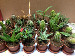 Cactus Con Suculenta Miniatura Mas Gastos De Envío