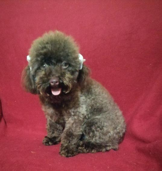 Vendo Cachorra De Raza Freinch Poodle