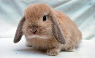 Lindisimos Conejos Para Mascota Mini Lop (belier) Más Comida
