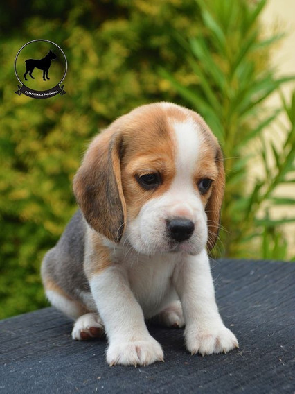 Cachorros Beagle Tricolor Genetica Unica 13 Pulgadas