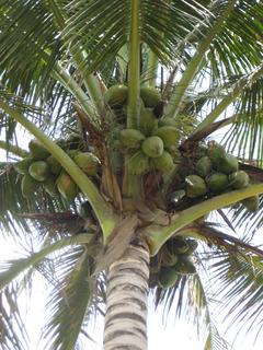 Palmeras De Coco. Lote De 15 Palmitas