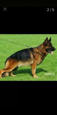 Seña De Cachorro Ovejero Alemán