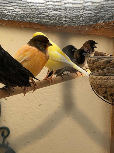 Imagem 1 de 5 de Venda De Pássaros