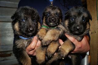 Cachorras (hembras) Pastor Alemán Inscritos
