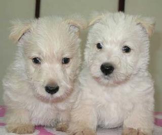 Scottish Terrier Bellos Cachorros