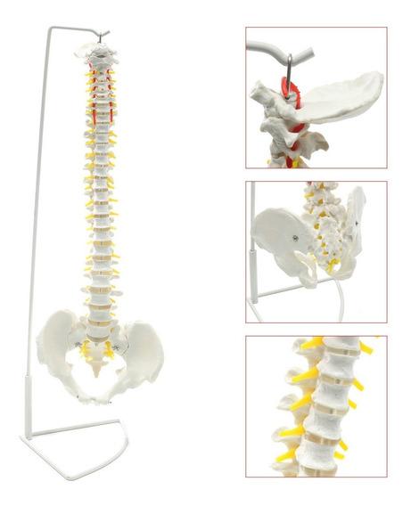 Modelo De Columna Vertebral Y Nervios